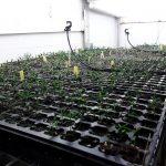 Actualización del estado de germinación de los genotipos de la segunda fase de cruzamientos del proyecto 'Life Resilience' en la Universidad de Córdoba.