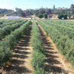 Cicytex publica un ensayo de variedades de olivar en seto en la Finca La Orden