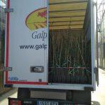 Los 550 genotipos están de camino a El Valenciano