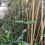 550 genotipos están creciendo en el invernadero de la UCO