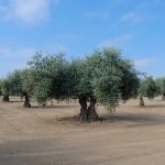 Xylella fastidiosa has been detected in France