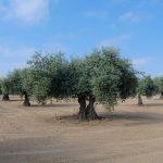 Xylella fastidiosa ha sido detectada en Francia