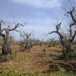 According to the EU Court of Justice: Italy has breached its obligations towards Xylella
