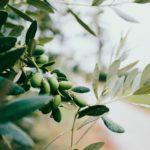 Se detectan nuevos casos positivos de Xylella en olivo y almendro