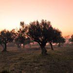 El COVID-19 afecta a la lucha contra Xylella en Italia