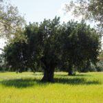 Plan Extraordinario para la regeneración del olivo en Italia
