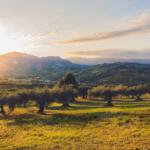 Italia aprueba la plantación de olivos tolerantes a Xylella