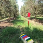 The spittlebugs return to the olive grove of Pisa