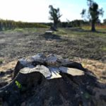 Xylella outbreak in Apulia puts millenary trees at risk