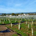 Ifapa obtiene tres nuevas variedades de olivo más resistentes a la verticilosis