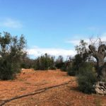 Italy launches a program to regenerate the olive grove affected by Xylella