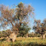 Nuevo tratamiento con capacidad para mitigar los impactos de Xylella en olivo