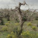 Xylella fastidiosa hace perder 5.000 puestos de trabajo en el sector oleícola italiano