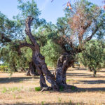 Valencia aprueba ayudas para la replantación de parcelas afectadas por Xylella