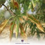 Alicante repartirá producto fitosanitario contra los vectores deXylella