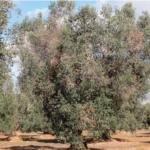 Pelea entre bacterias para combatir el ébola del olivo
