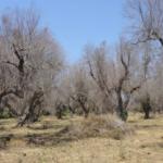 Nuevas estrategias para controlar la verticilosis y la Xylella fastidiosa en el olivar