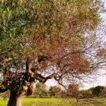 Italia invierte en investigar variedades resistentes a Xylella