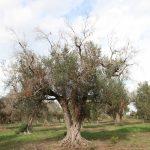 Nuevo método de teledetección para identificar cómo afecta Xylella a los árboles